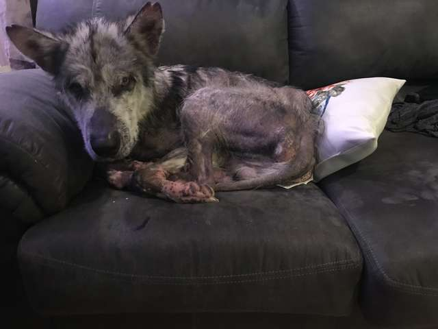 Alaskan Malamute Rescued From 'Nightmare' Looks So Beautiful Now