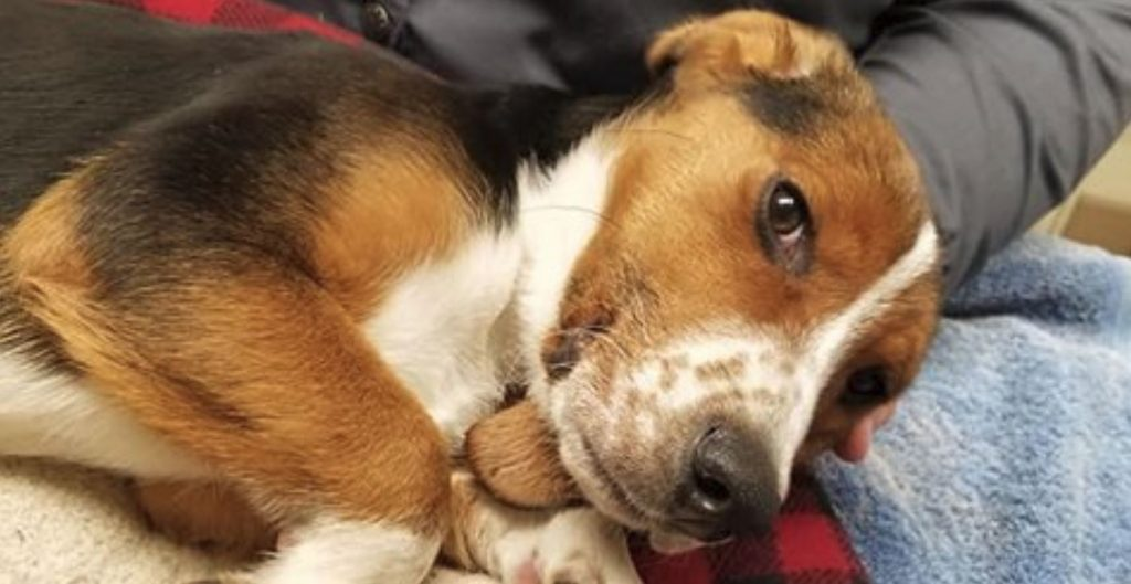Beagle with frostbitten legs and paws remains in critical condition