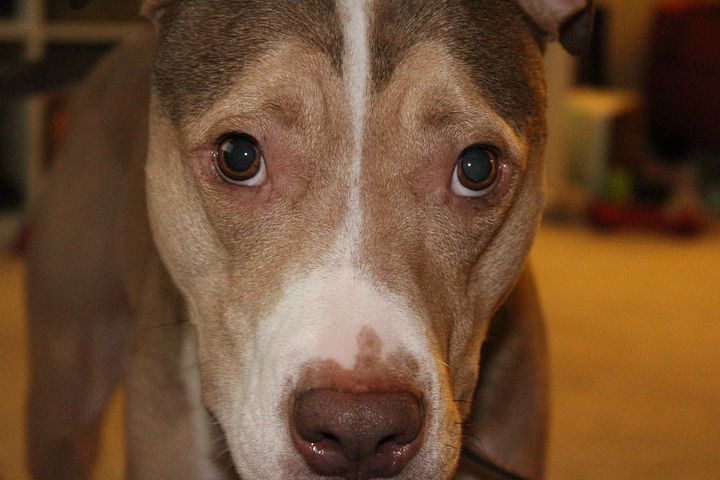 South Carolina law would require pit bull owners to register their dogs