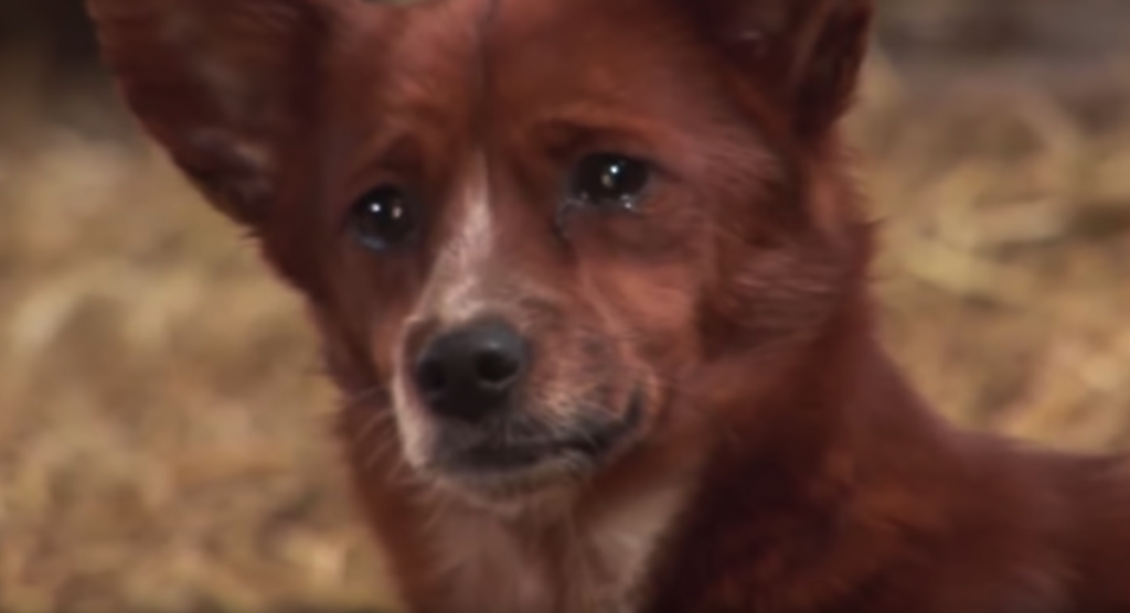 Dog Cries Out When Family Sells Cow Friend, Runs Away To Find Her