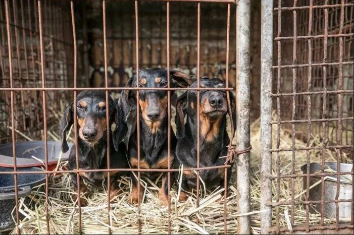 Rescue of 200 dogs from South Korea slaughterhouse begins