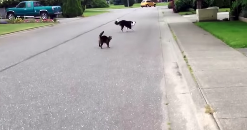 Cat Hero Steps In To Defend Feline Friend From The Neighborhood Bully