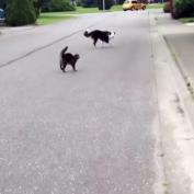Cat Hero Steps In To Defend Feline Friend From The Neighborhood Bully