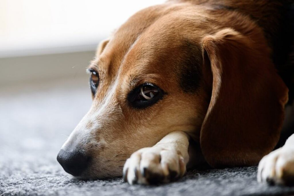 Outrageous: More than 60,000 dogs used in painful lab experiments