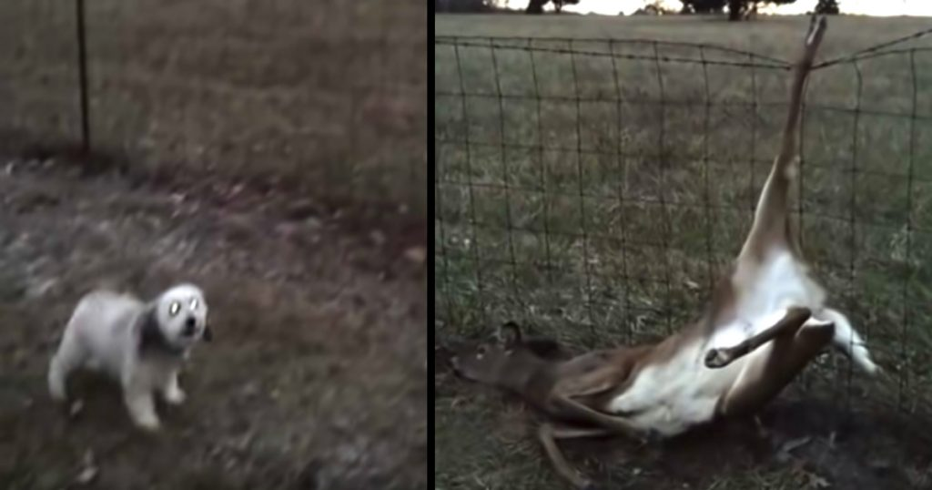 Little Dog Barks To Let People Know That A Deer Needs Their Help