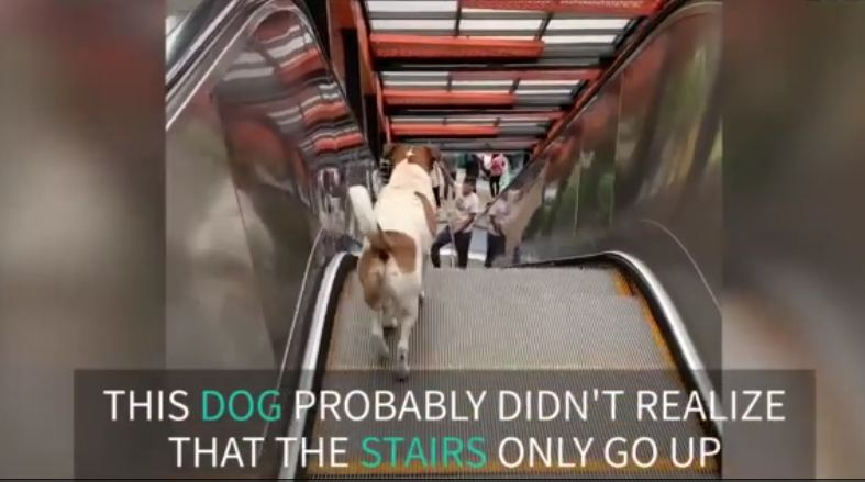 Dog doesn't get how escalators work