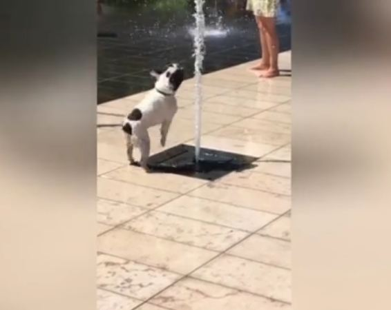 Playful French bulldog gets soaked trying to block street fountain