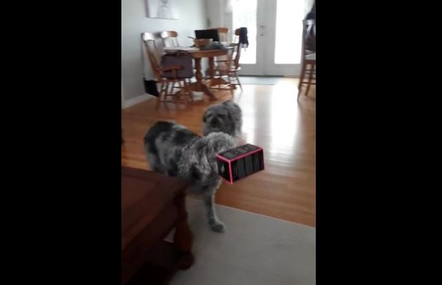 Goofy dog walks around with box on head
