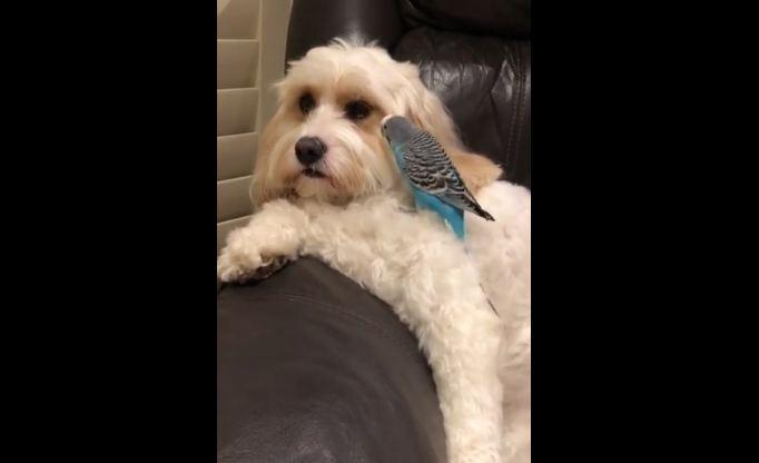 Budgie Loves Preening Doggy Best Friend