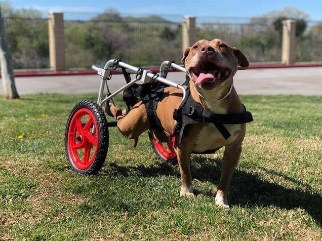 Wheelchair bound dog 'red-listed' at busy animal control agency