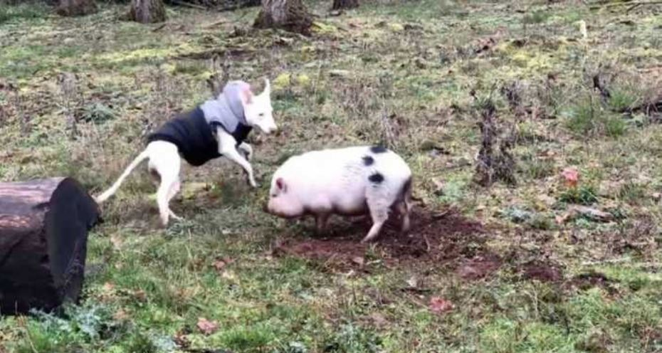 Dog Forms Unlikely Friendship With Pig