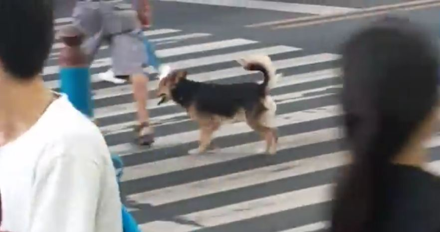 Doggy Knows When To Cross The Street