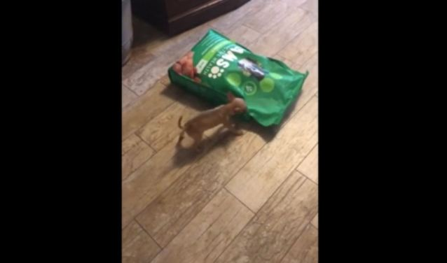 Two-Month-Old Chihuahua Adorably Attacks 15lb Bag of Dog Food
