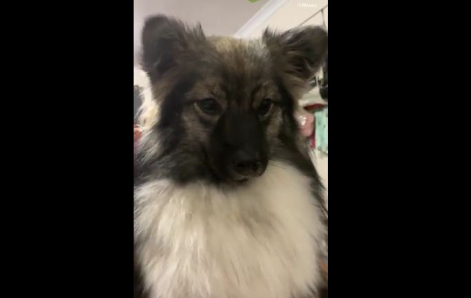 Cute puppy hilariously imitates police sirens