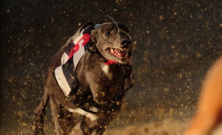Fastest Dog In The World Can Sustain 35 Miles Per Hour For 7 Miles