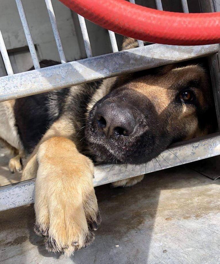 Heartbroken German shepherd returned to shelter just days later