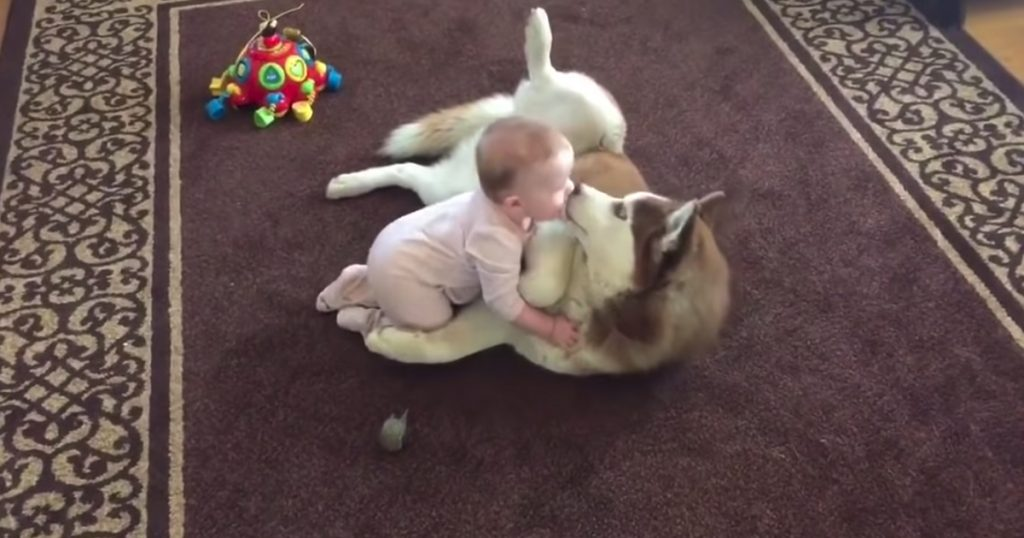 Baby Crawls Up To Her Dog, And The Husky Gently Invites Her To Play