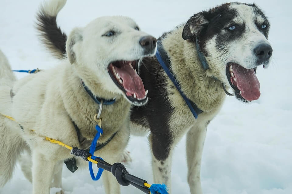 Iditarod team stops racing after musher yells at one dog