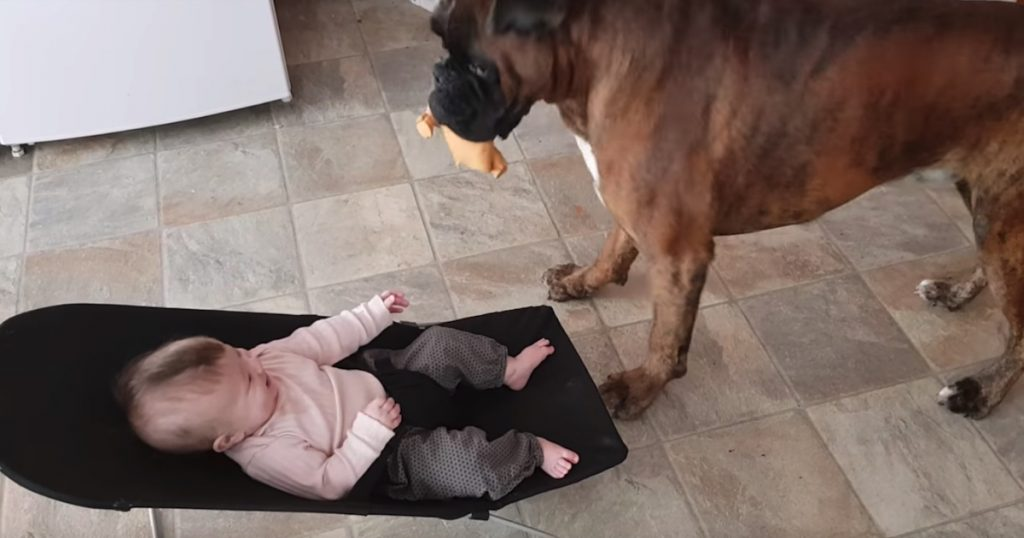 Silly Boxer Found A Way To Get Endless Laughs From His Human Baby Sister