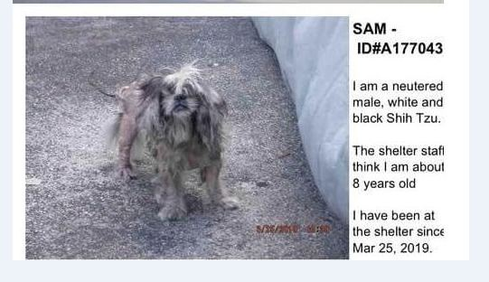 Sam: Once adorable Shih Tzu adopted 3 years ago from Miami shelter