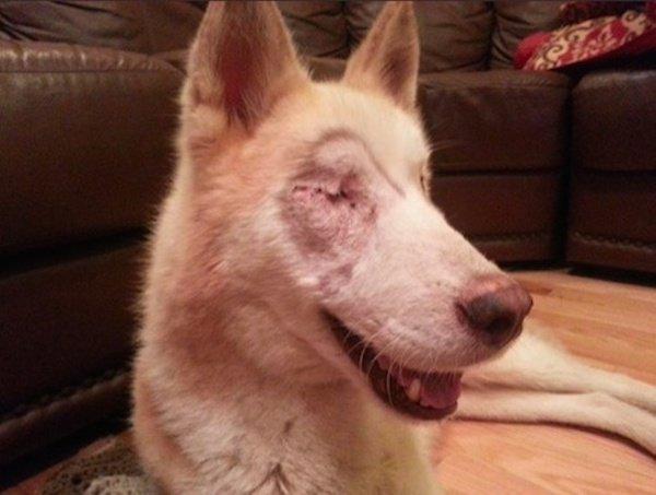 Stray Siberian Husky's Heartfelt Journey With His Foster Family