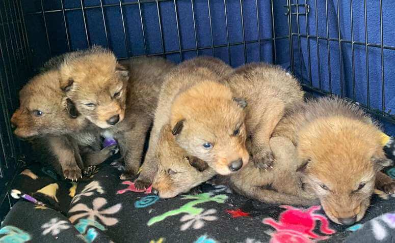 Five orphaned coyote pups are on the mend