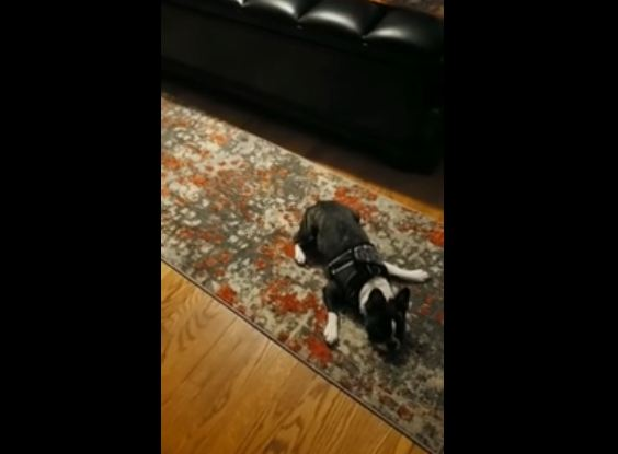 Dog Does the Rug and Run