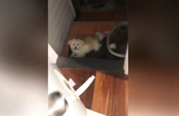Cheeky Dog Gets Caught Stealing Toilet Roll