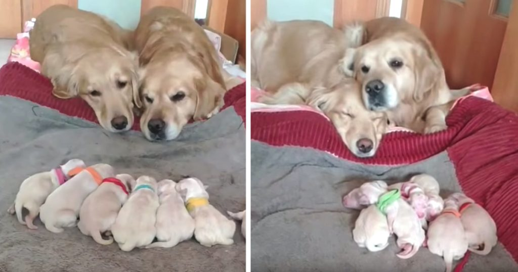 Golden Retriever Parents Adorably Watch Over Their Newborn Pups
