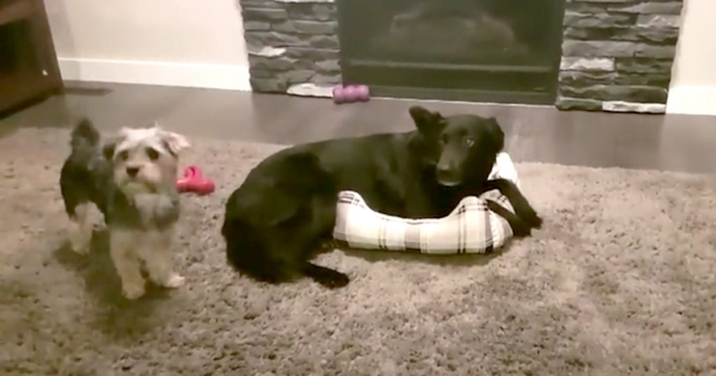 Big Dog Keeps Hogging The Bed, But The Two Find An Adorable Compromise