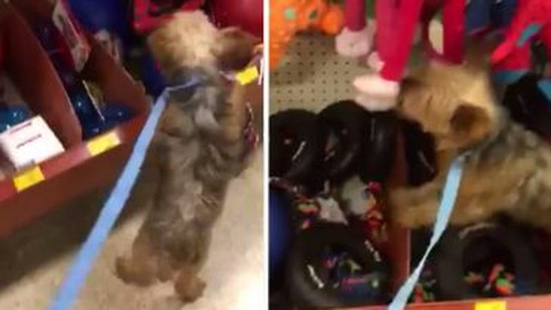Puppy Mill Rescue Is So Excited To Pick Out First Toy, She Jumps On The Shelf
