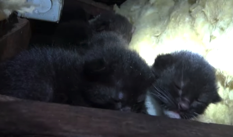 Mama Keeps A Close Eye As Rescuers Pull Kittens From The Attic One By One