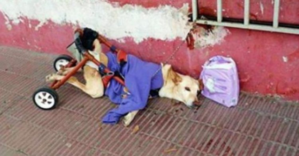 Paralyzed Dog Found Face Down With Bag Next To It, Then People See What's In The Bag