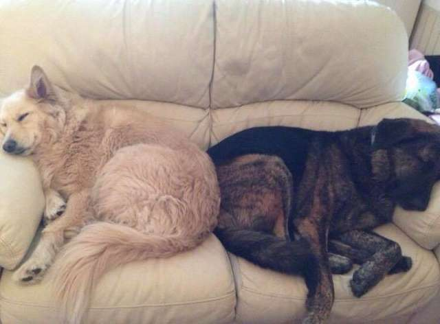 Sad Dog Can't Stop Snuggling With Pillow Of His Late Brother's Face