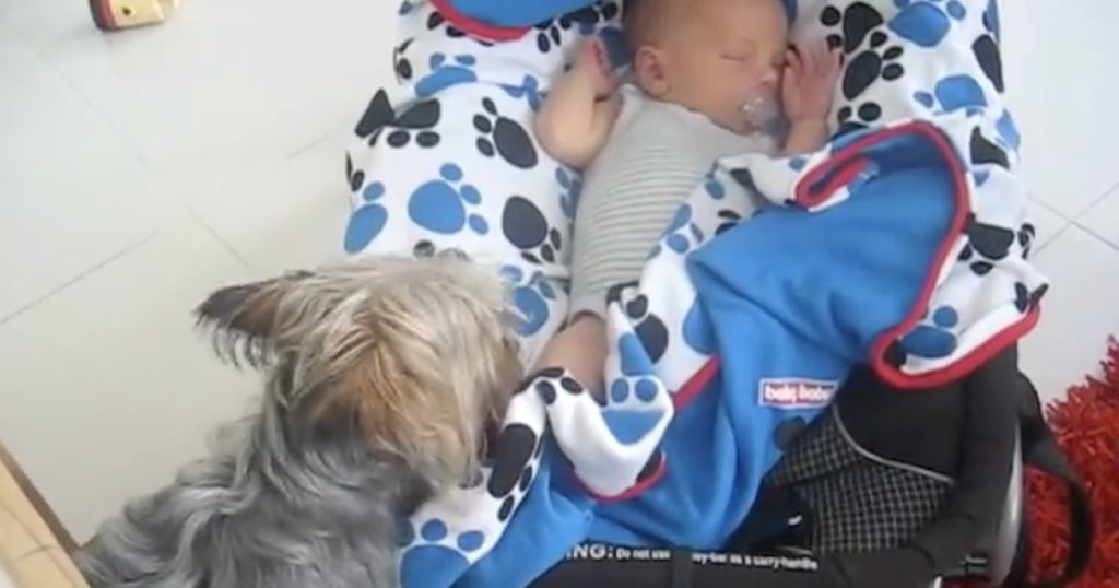 Yorkshire Terrier Won't Stop Until Baby Is Properly Tucked In