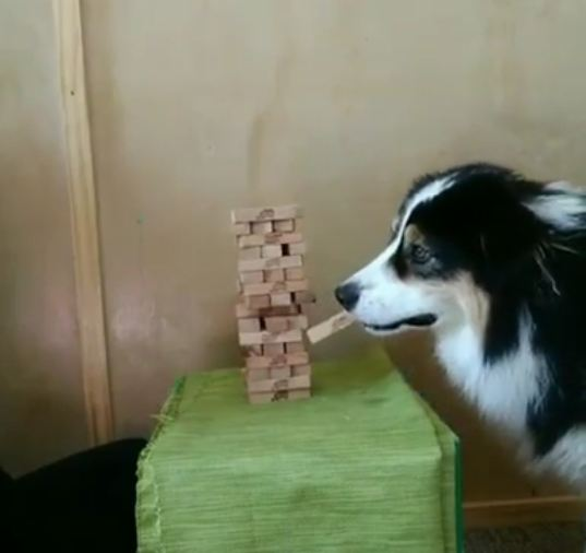 Dog Plays Jenga Like An Expert And Impresses Everyone