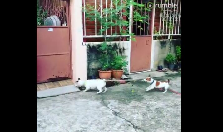 Puppy prevents dog from scuffle by tugging on leash