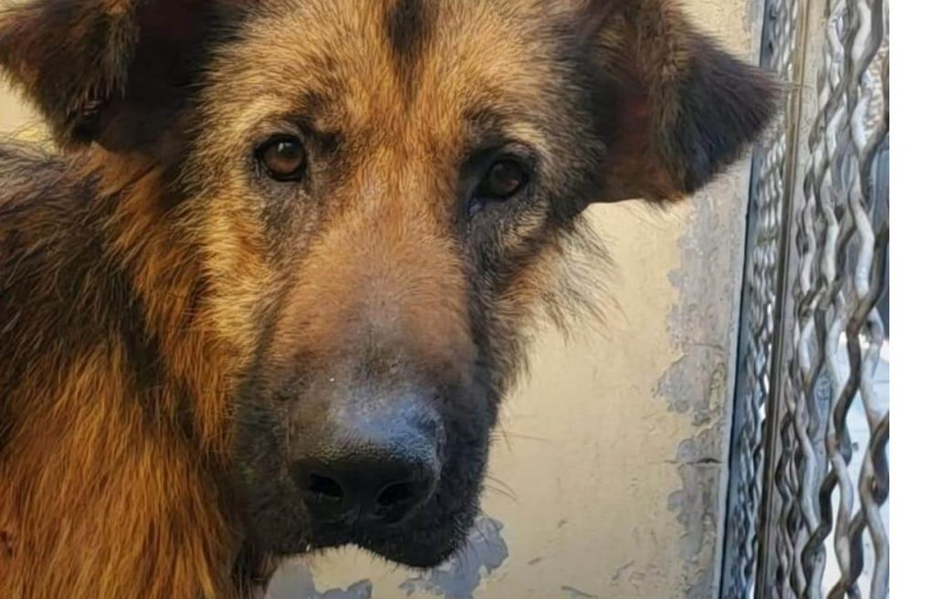 Senior shepherd Spikey needs tall order of 'TLC' and love