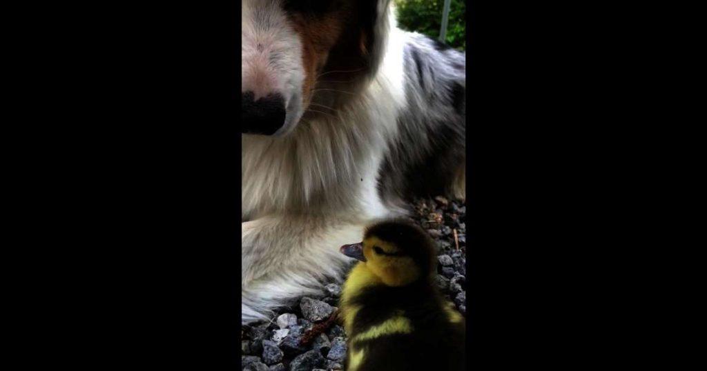 Australian Shepherd befriends newly hatched duckling