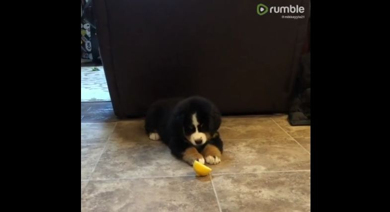 Puppy has adorable reaction to dreaded lemon slice