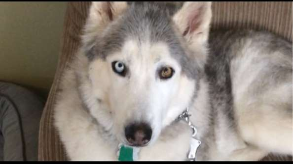 Stubborn Husky argues with owner when it's time for a walk