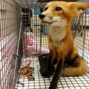 People See Young Fox's Foot And Refuse To Let Him Suffer