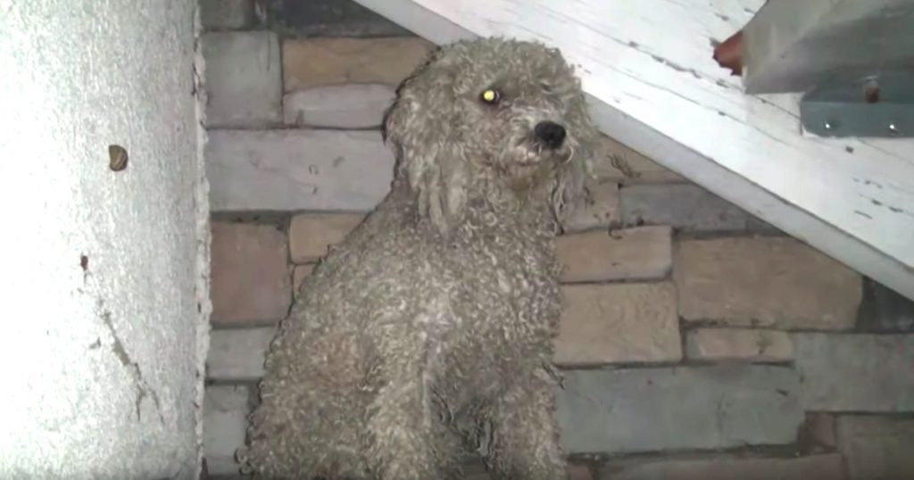 Stray Poodle Needed Help But Was Always Too Scared To Seek It