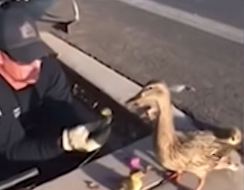 Mama Duck Watches Patiently And Carefully As Firefighters Rescue Her Babies