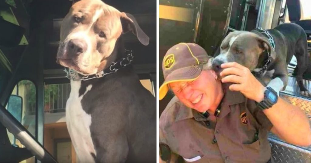 Pittie's Owner Dies, And He Wants Nothing More Than To Be Adopted By His UPS Driver