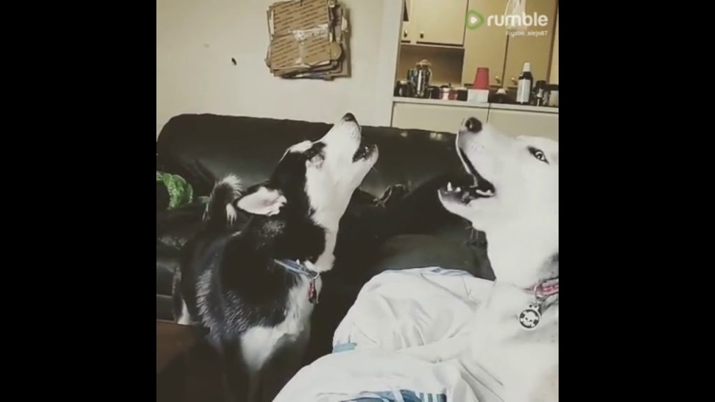 Man gets serenaded by his two howling huskies