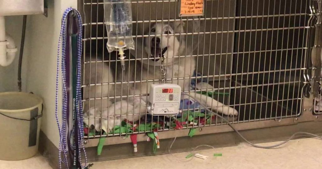 """Stubborn Husky """"under the influence"""" howls in protest"""