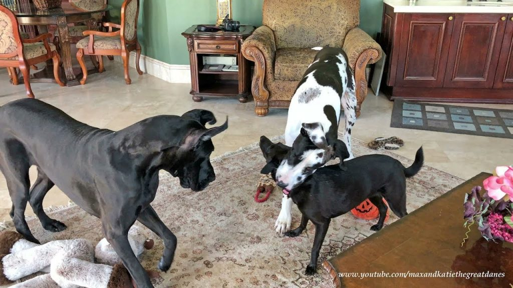 Great Dane loves to put dog friend's head in his mouth