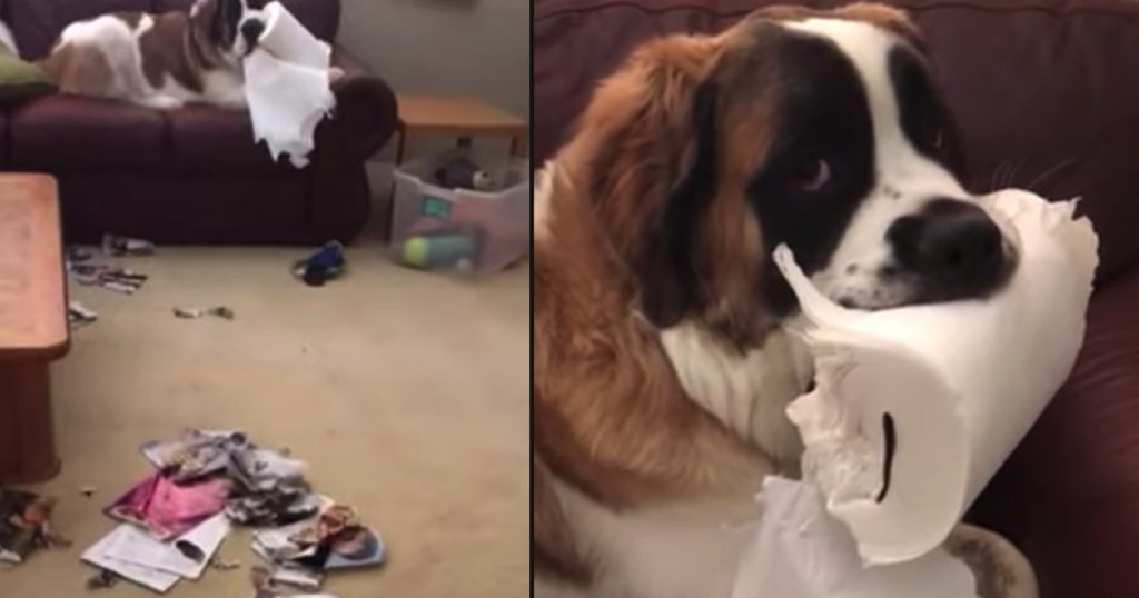 Dog Rebels Against Idea Of Puppy School By Chewing Up A Paper Towel Roll