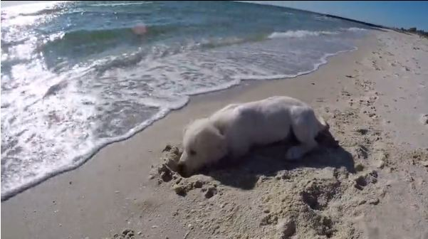 Puppy Digs Hole In Sand, Gets Angry When The Ocean Fills It Up Again